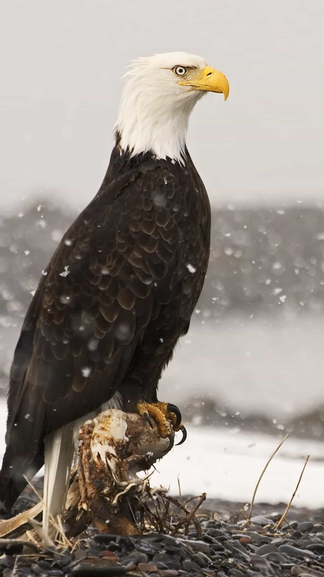 american-bald-eagle-android-wallpaper
