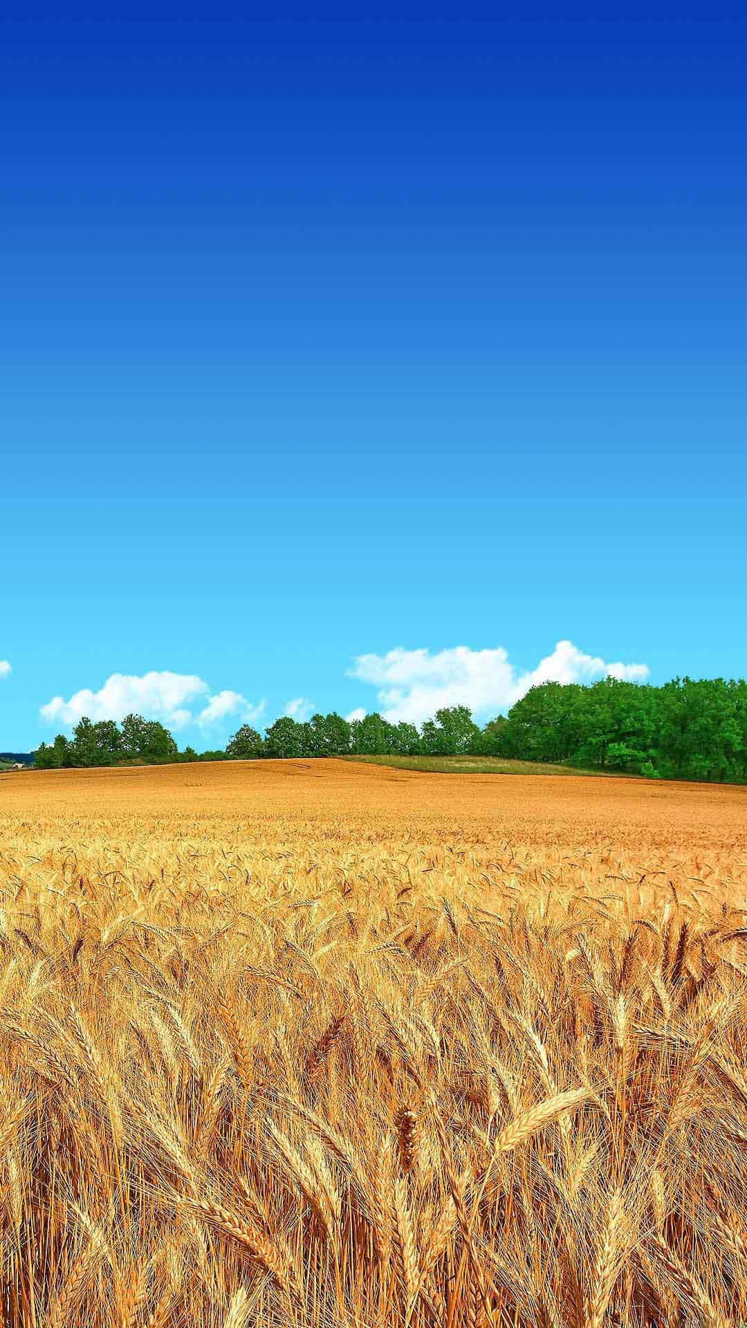 golden-wheat-field-blue-sky-forest-android-wallpaper