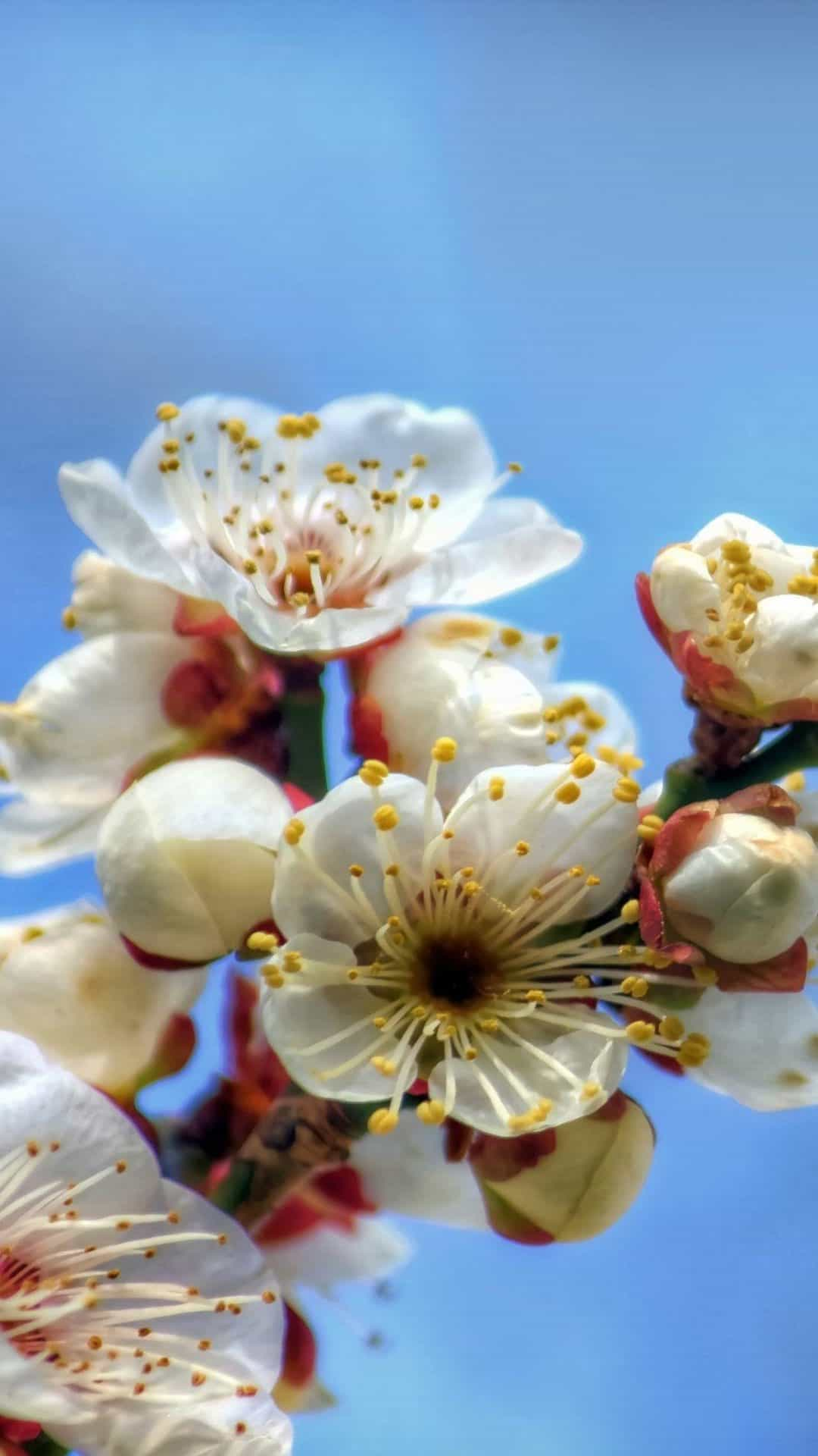 Blooming Cherry Flowers Android Wallpaper