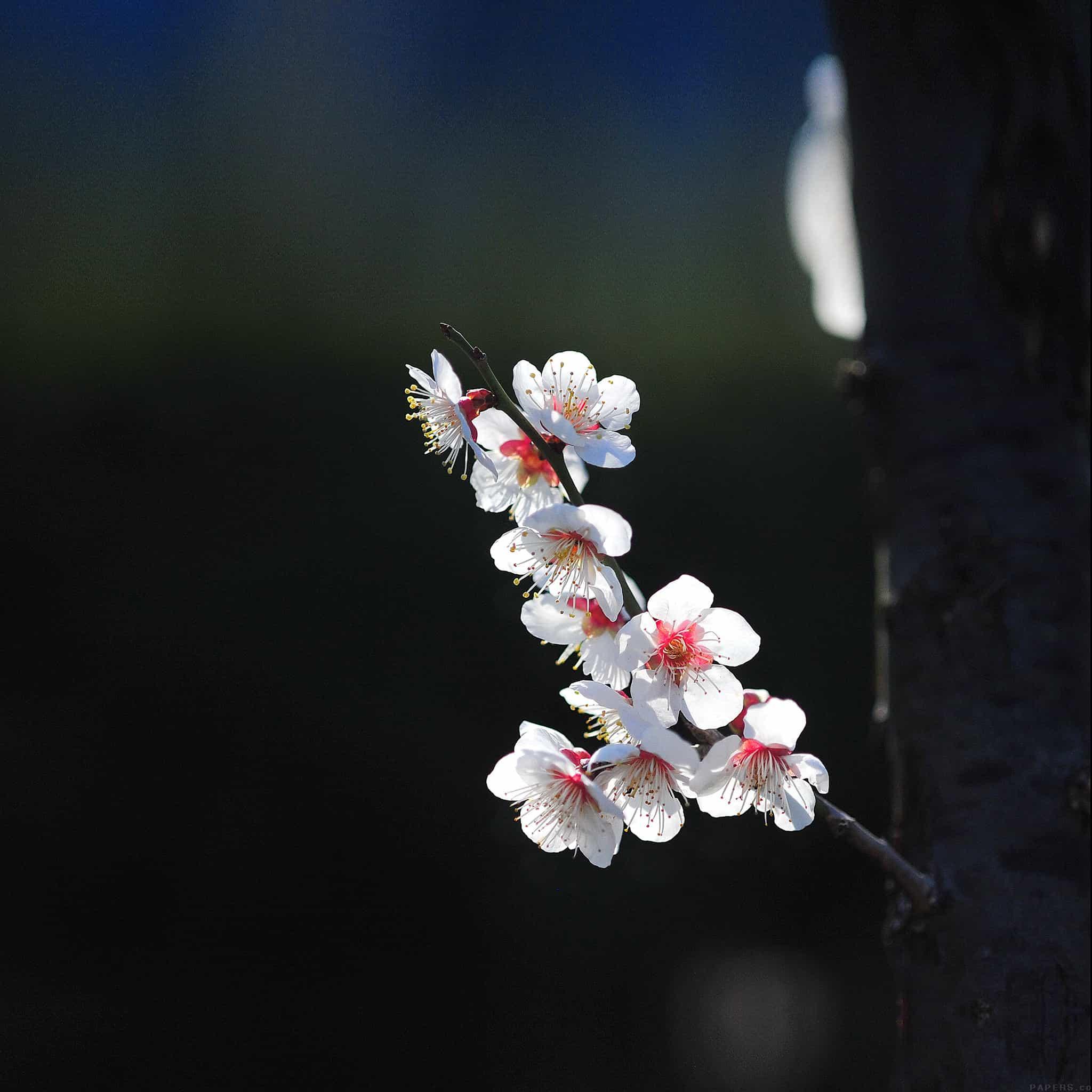 Papers.co-mq22-spring-flower-sakura-nature-tree-android-medium