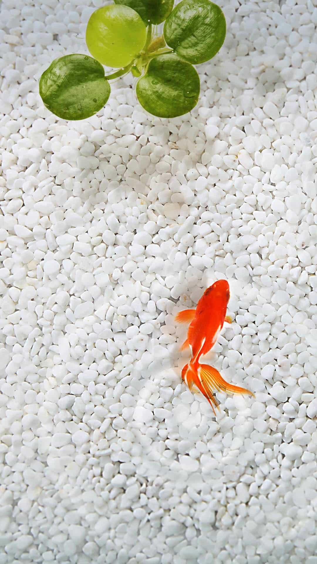 Orange Fish White Stone Aquarium Android Wallpaper