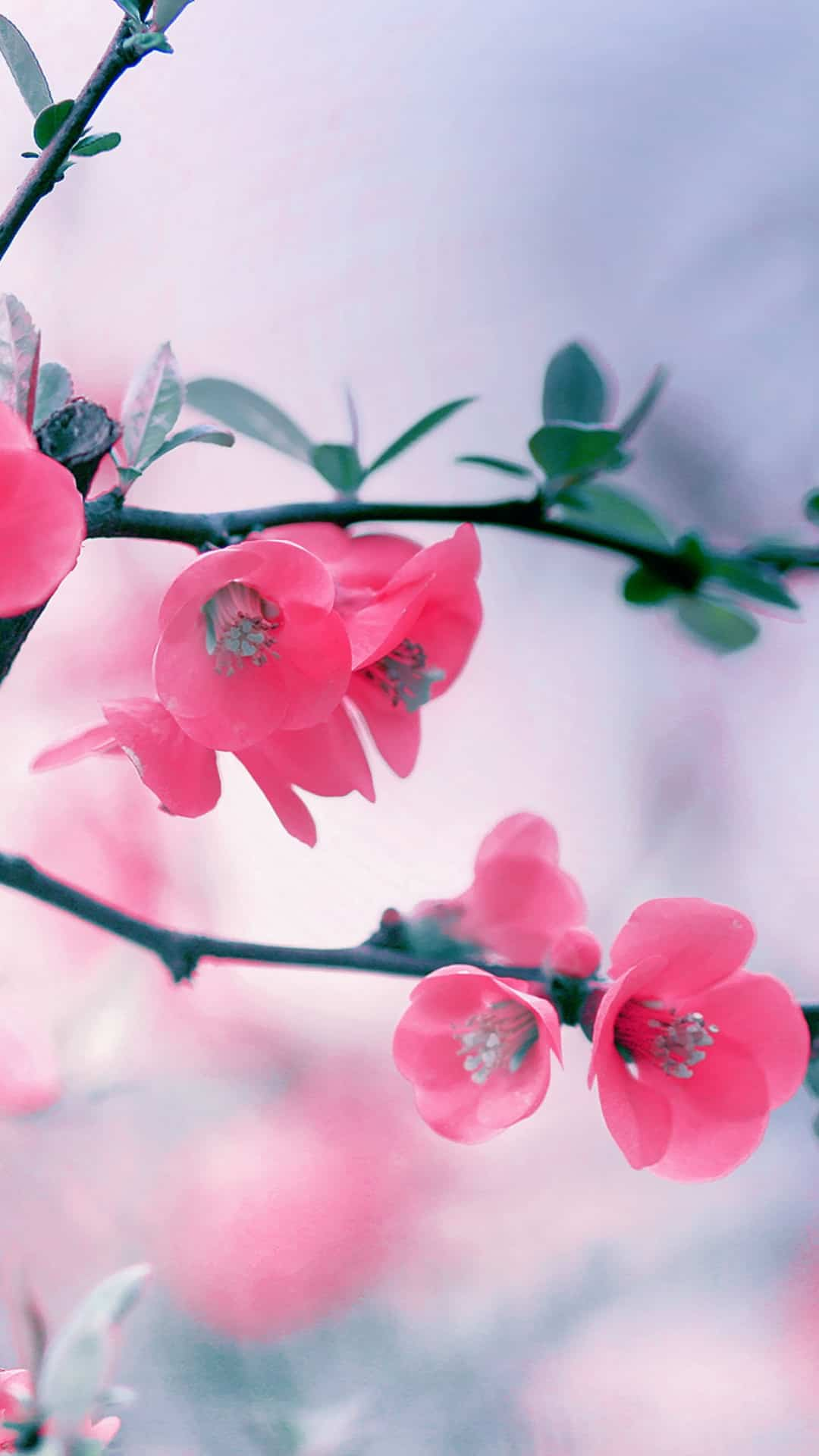 Vintage Pink Blossom Flowers Spring Macro Android Wallpaper