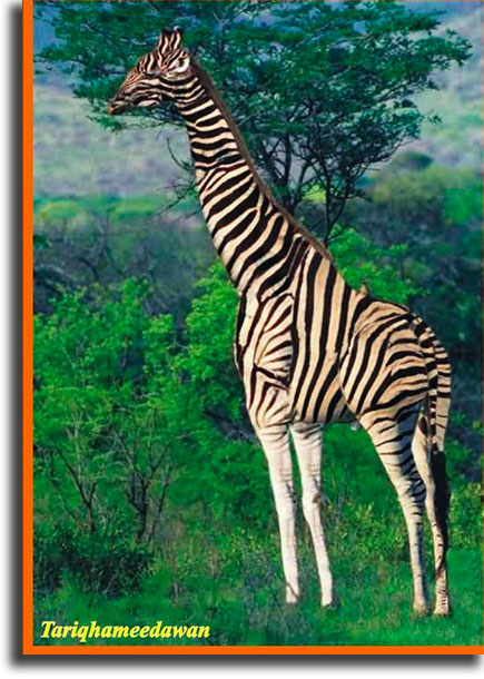 What's wrong with this giraffe?