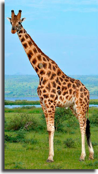 What's wrong with this giraffe? 2 WhatsApp games